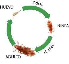 ciclo vida piojo